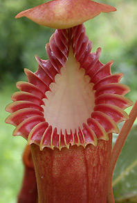 image of the amazing pitchers produced on Nepenthes edwardsiana