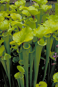 The yellow pitcher plant is nearly extinct in Virginia.